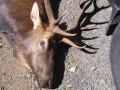 Подстреленный лось убил ранившего его охотника