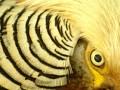 Жителей английского графства преследует агрессивный фазан
