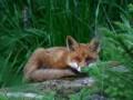 В Тернопольской области в результате укуса бешеной лисы умер мужчина