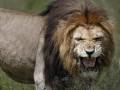 Во Львовской области лев напал на двоих пьяных