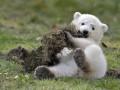 Животные недели: полярный медвежонок и добрая львица