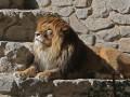 В тернопольском зоопарке на 14-летнего подростка напал лев