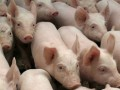 Свиной скандал с политическим подтекстом: в Донецкой области экологи борются с животноводами