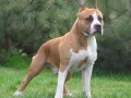 В Ирпене бойцовский пес отгрыз хозяйке руки