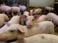 В Литве уничтожат почти 20 тысяч свиней из-за вспышки АЧС
