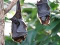 В Китае продолжают есть летучих мышей