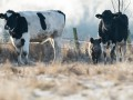 Бандиты из Украины и Польши похищают немецких коров - СМИ