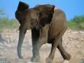 Власти Зимбабве намерены начать распродажу слонов