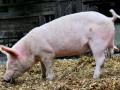 Ну что за свинство: Импорт сала в Украину вырастет втрое