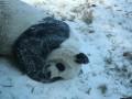 Панда радуется снегу: забавное видео из США