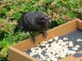 Необычная дружба: в Сиэтле вороны приносят девочке подарки