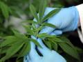 Для дома, для семьи: В Британии легализовали марихуану