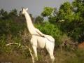 В Кении заметили необычного жирафа