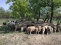 Мужчина похитил больше ста овец и коз на Одесчине: Ему грозит 8 лет