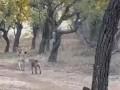 В Индии дворняга сразилась с львицей