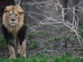 Лев растерзал 22-летнюю девушку в США