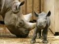 Малыш носорога и бульдоги на скейтах: животные недели