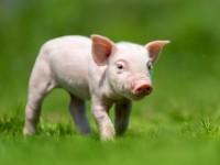Защитники животных требуют перестать ругаться словами свинья и крыса