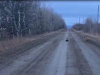 В Канаде скунс устроил погоню за пумой