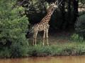 В Африке жираф убил режиссера во время съемок