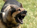 В Житомирской области бешеный пес покусал 11-летнюю девочку