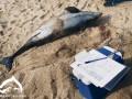 В Крыму браконьеры массово убивают дельфинов
