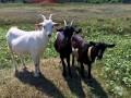 Полиция Харьковской области спасла трех коз и отчиталась в Facebook