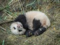В Китае 10 человек задержали за убийство панды, им грозит пожизненное