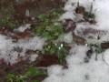 В Румынии расцвели подснежники