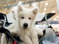 Собаки-очароваки: в Киеве прошла выставка собак
