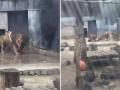 В Чили горе-самоубийца прыгнул голым в клетку со львами