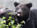 Сибирские медведи не могут впасть в спячку из-за мотоциклистов-экстремалов