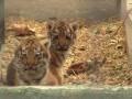 В Одесском зоопарке показали первую прогулку амурских тигрят