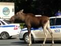 В Москве лось убегал от полицейских и чуть не утонул в пруду