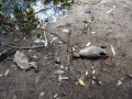 В озере на Теремках отравили 90% уток