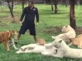В Мексике тигр спас зоолога от ягуара