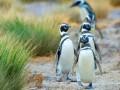 Пингвины из-за нехватки пищи мигрируют из Аргентины в Бразилию