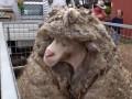 В Австралии с барана состригли 35 кг шерсти