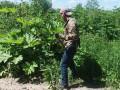 На Прикарпатье неплательщика алиментов заставили косить ядовитый борщевик