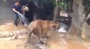 Как принимают душ тигры