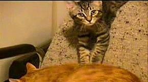 THE BEST CAT VIDEO