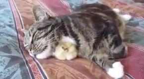 Кот пригрел цыпленка