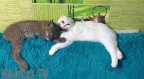 Sweet pair  cat & lynx