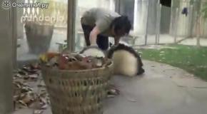 Маленькие панды-безобразники