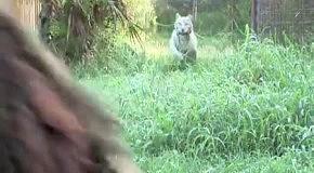 Удивительная дружба льва и белой тигрицы