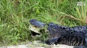Крокодил пытается съесть черепаху
