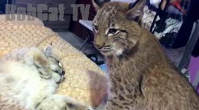 Battle of two lynx (cute wildcats)
