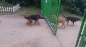 Собачьи разборки у ворот
