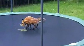 Лисы прыгают на батуте