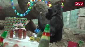59 День рождения гориллы